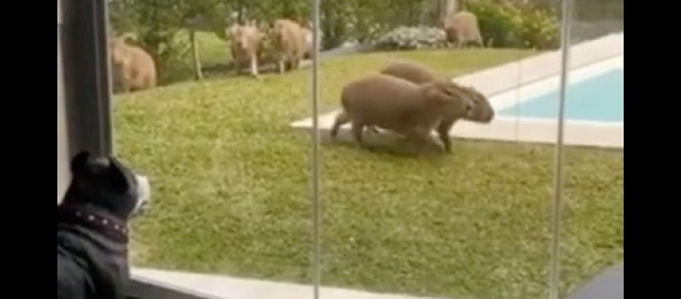 Πιτ μπουλ έμεινε «κάγκελο» όταν είδε να περνούν μπροστά του υδρόχοιροι (βίντεο)