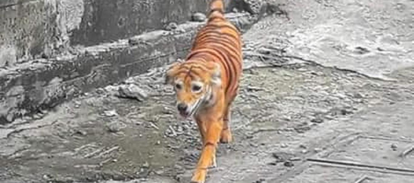 Έβαψαν σκύλο για να μοιάζει με τίγρη – Αναζητείται ο δράστης (φώτο)