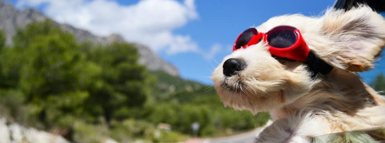 Σκύλος «βολτάρει» στους δρόμους της πόλης με μπλούζα και γυαλιά και γίνεται viral (βίντεο)