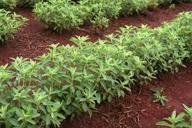 Τα πλεονεκτήματα του φυτού στέβια