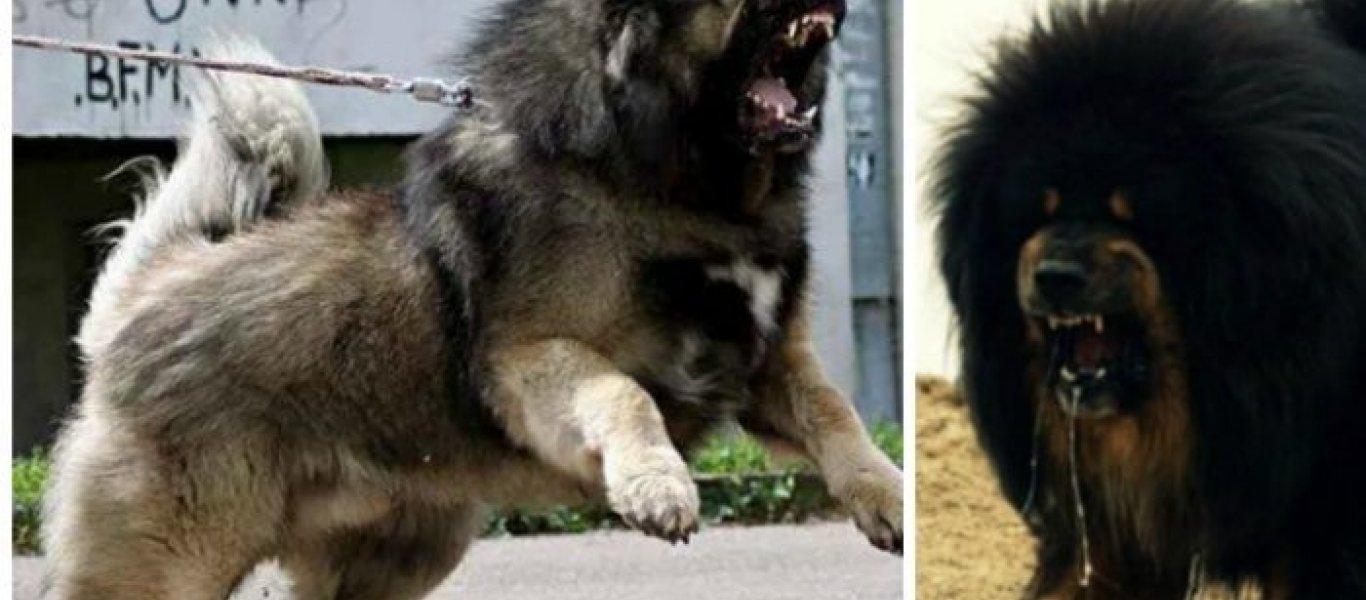 Ρωσικό τσοπανόσκυλο: Το πιο άγριο τσοπανόσκυλο «δείχνει τα δόντια του» (βίντεο)