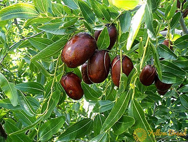 Τρώγοντας Jujube (Ber) φρούτα κατά τη διάρκεια της εγκυμοσύνης